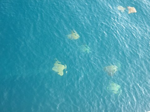 Manta rays in formation