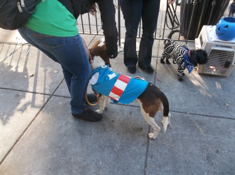 Canine Captain America